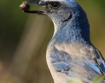 Florida Scrub-Jay // Bird Photography // Bird Art // Home Decor // Wall Prints // Bird Watching