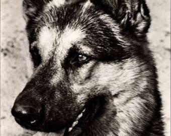 MINT ~ German Shepherd Dog Portrait Real Photo Postcard; DDR; Foto Tylinek, Prag, G 1609; V 11 28 A 3/63 DDR