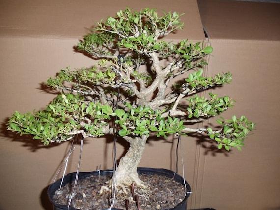 Korean boxwood buxus microphylia koreana seeds bonsai