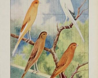 A3 Bird Print Wall Art - Aristocrats of Carnarydom (Print #8)