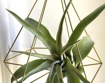 Suspension brass / Himmeli and plant tillandsia