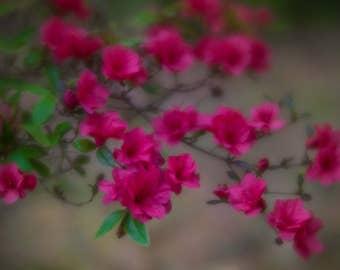 "Azalea Print, Pink Azalea Art, Pink Azalea Canvas Wrap, Bright Pink Azalea, Edisto Island, South Carolina  ""Pink Spring Azalea"""