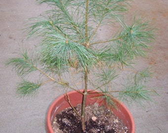 White pine bare root 2 to 3 foot stock/ up to 40% off your total order