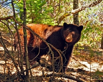 Western Photography SD Bear Wilderness Southwest New Mexico Hunting Outdoors Wildlife Animals Ursidae