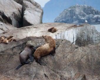 Sea Lions on Rock, Alaska
