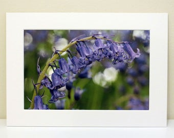 Mounted Photograph of Bluebells
