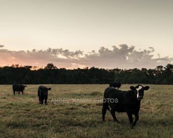 Cow Photograph, Farm Animal Photography, Farm Scene, Rustic Home Decor