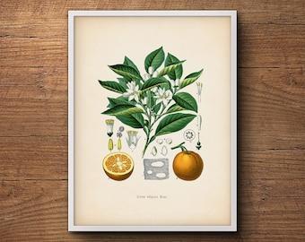 Citrus art print, Botanical art, Orange fruit, Kitchen decor, Citrus print, Kitchen art, Kitchen citrus print, Farmhouse decor, Kitchen art
