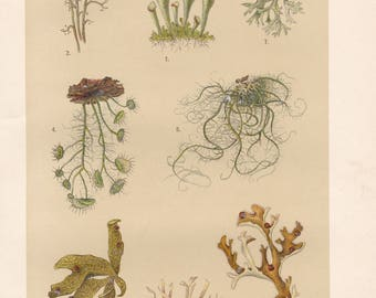 Vintage lithograph of iceland moss, reindeer lichen, angola weed, old man's beard, cartilage lichen from 1911