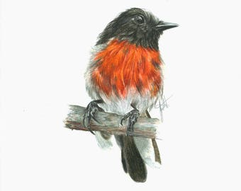 Robin Red Breast Coloured Pencil Drawing Print