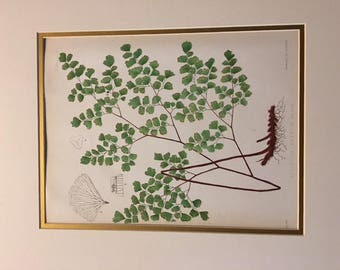 Antique Botanical Fern Print Lithograph from Collectible Eaton Book The Ferns of North America