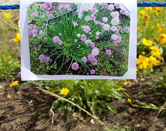 City Seeds Cards: Chive Flowers