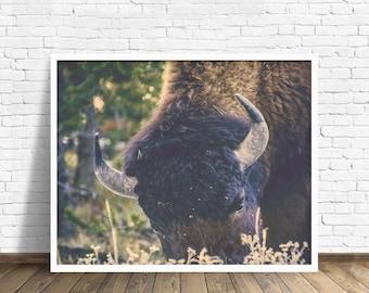 "bison photograph, buffalo, nature photography, large art, large wall art, wall art prints, fine art prints, nature art - ""Afternoon Grazing"""