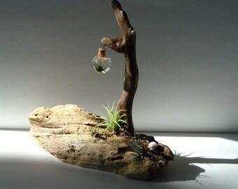 Ecosphere Driftwood Marimo Moss Ball Zen Tiny Terrarium #G