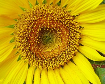 SUNFLOWER Photograph-  - Close Up -Sunflower bloom- 5x7 - Flower photography *Available in more sizes