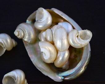 Small Turbo Pearl Seashell, 6 pieces / Pearl Spiral Shells, Beach Jewelry, Shells, Conchs, Natural Sea Shell, Nautical, Shell Pendants