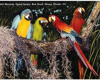 Vintage Florida Postcard - Colorful Macaws at Parrot Jungle, Miami (Unused)