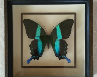 Framed butterfly by Eli Beery