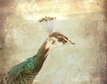 Peacock Art Print - Shabby Chic Wall Art - Bird Photography