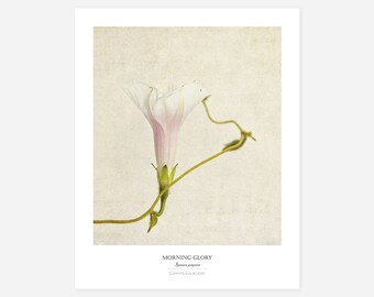 Morning Glory Original Art Print - Botanical Wall Art - Flower Poster - Large Botanical Print