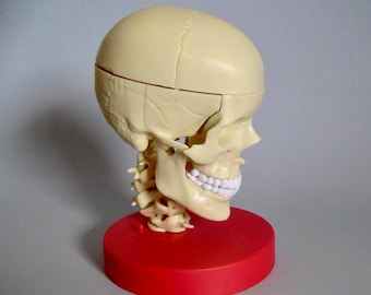 Skull Teaching Medical Human Plastic on Stand with Removable Parts & Hemispheres 1997