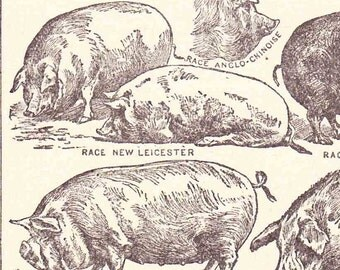 Beautiful Antique French  Print  1920s Engraved Book Page Illustrations Pigs Piglets