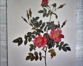Redoutes Roses Book Page Plate Botanical Wall Art Pink Rosa Rubiginosa Rose