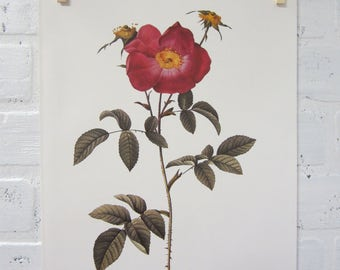 Redoutes Roses Book Page Plate Botanical Wall Art Burgundy Rosa Gallica Stapelia Flora Rose