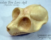 Chocolate Slow Loris skull