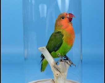 K# taxidermy of green parrot color birds  mounted in glass dome Free shipping cool gift