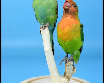 taxidermy of 2 birds  mounted with glass dome and base,cool gift,free shipping