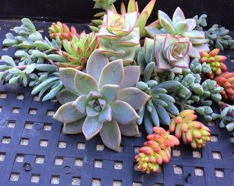 100 Succulent Cuttings Succulent plant Bulk succulents Succulent Wedding Favors Wholesale Succulent Plants