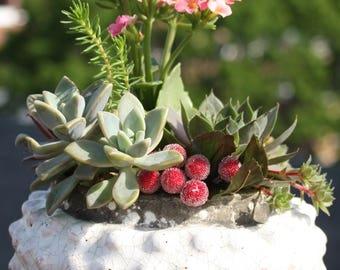 Alegria - Crisp Collection of Graptopetalum, Kalanchoe, Sedum and Sempervivum Plants in Large Bubbled Planter