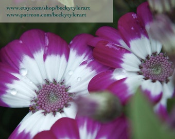 Cineraria Fine Art Photo Print
