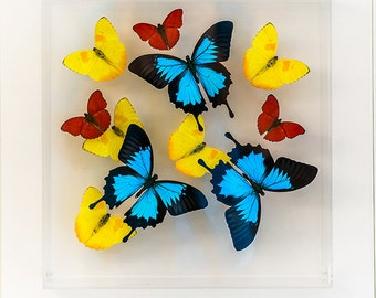 12 x 12 x 3 inches deep design with Blue Ulysses Butterflies and Yellow Philea and Red Sangarias butterflies.