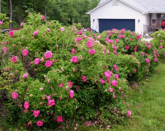 Red Rugosa Rose Seeds, Rosa rugosa, Pink - 25 Seeds