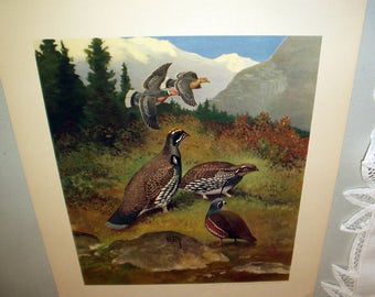 Lynn Bogue Hunt 1944 Game Birds Original Lithograph Print Band Tailed Pigeon Blue Grouse Mountain Quail Large Print Field and Stream Company