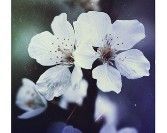 Blossom Photography Cherry Blossom Fine Art Photography Spring White Flowers Art White Navy Wall Art Decor Sahbby Chic Art Floral Pictures