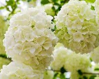 Chinese Snowball Viburnum UNROOTED CUTTINGS (bundle of 4)