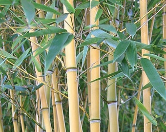 Giant Timber Bamboo Plant Cold Hardy to -15ºf  Phyllostachys Aureosulcata 'Lama Temple'.