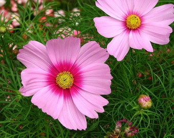 ACS)~DAYDREAM COSMOS~Seeds!!~~~~Easy Pastel Lovelies!