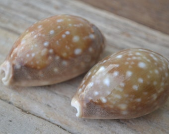 "Deer Cowrie Shell ( 1.25 - 2"" ) 