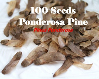 100 Seeds - Ponderosa Pine Tree - Pinus Ponderosa Seeds / Natural Real Pine Tree Seeds / Evergreen Seeds / Zone 3-7 Pine Tree