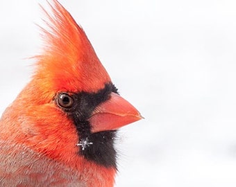 An amazing picture of a cardinal in the snow with a single snow flake on his feathers.