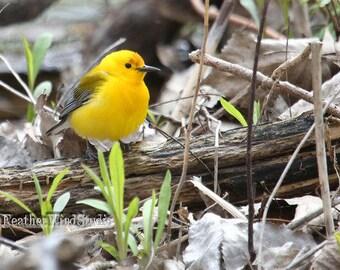 Prothonotary Warbler Photo | Spring Warbler | Bird Photography | Small Yelllow Gray Songbird | Bird Wall Art | Bird Lover Gift | Bird Print