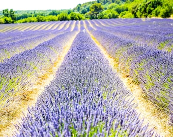 France Provence Lavender Field Purple Flowers Summer Photography Print - Various Sizes