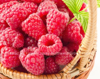 3 Potted Tulameen Raspberry Plants - Large, Sweet & Firm Summer Berries