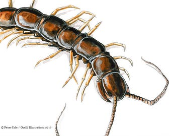 Garden Centipede - bug art print