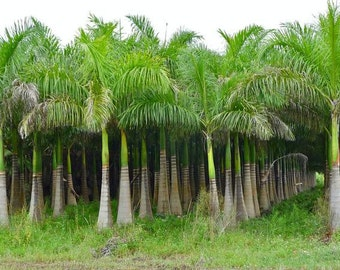 Roystonea regia Florida Royal Palm 10 seeds