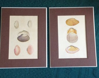 Vintage Hand Colored Shell Engraving Lot of 2 Solen Plate 33 & Tellina Plate 35 Sea Shells Art